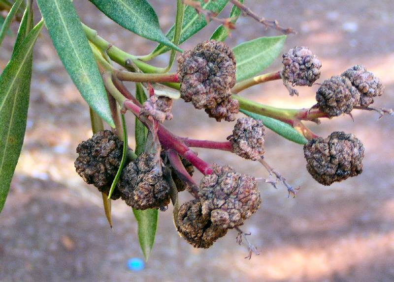 Oleanderkrebs